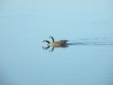mallards-and-geese-014